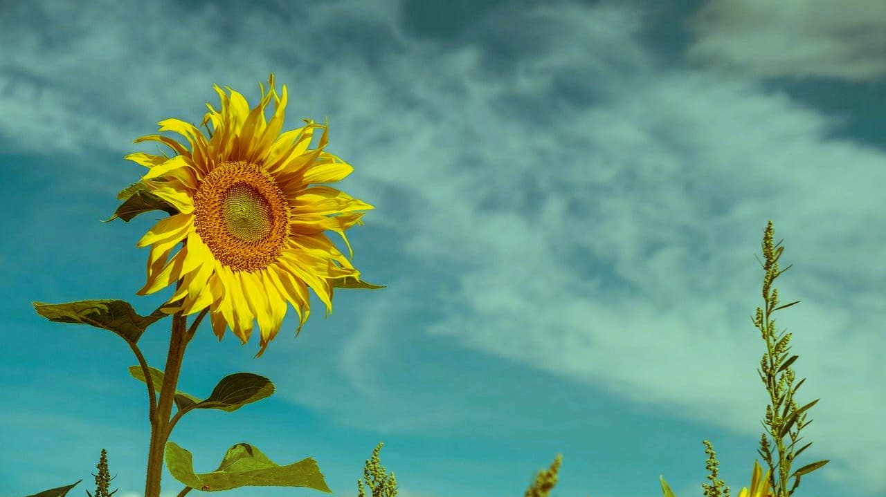 sunflower, sky, sunflower sky, how to make a photo look vintage
